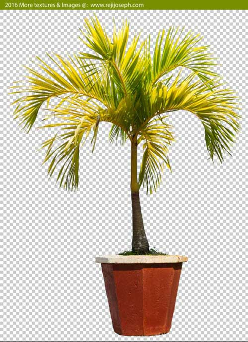 PNG Betel 0nut palm tree 00004