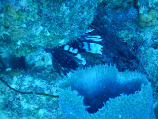 lionfish, pterois, venomous, myrkyllinen, koralli, kala