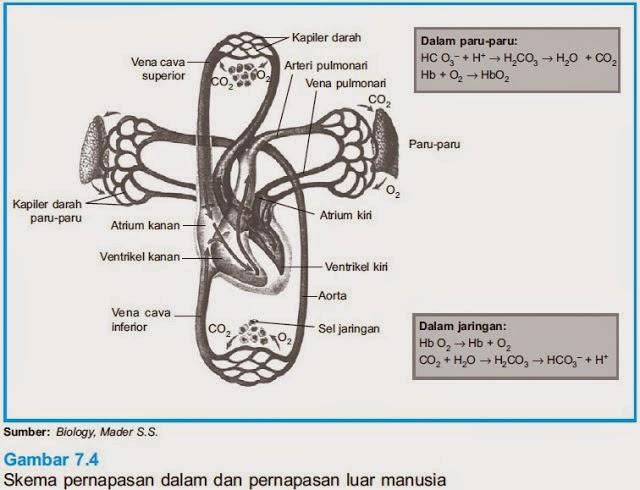 Mekanisme  Pernapasan