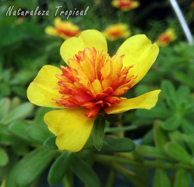 Flor doble de la planta ornamental y comestible conocida como Verdolaga, Portulaca oleracea