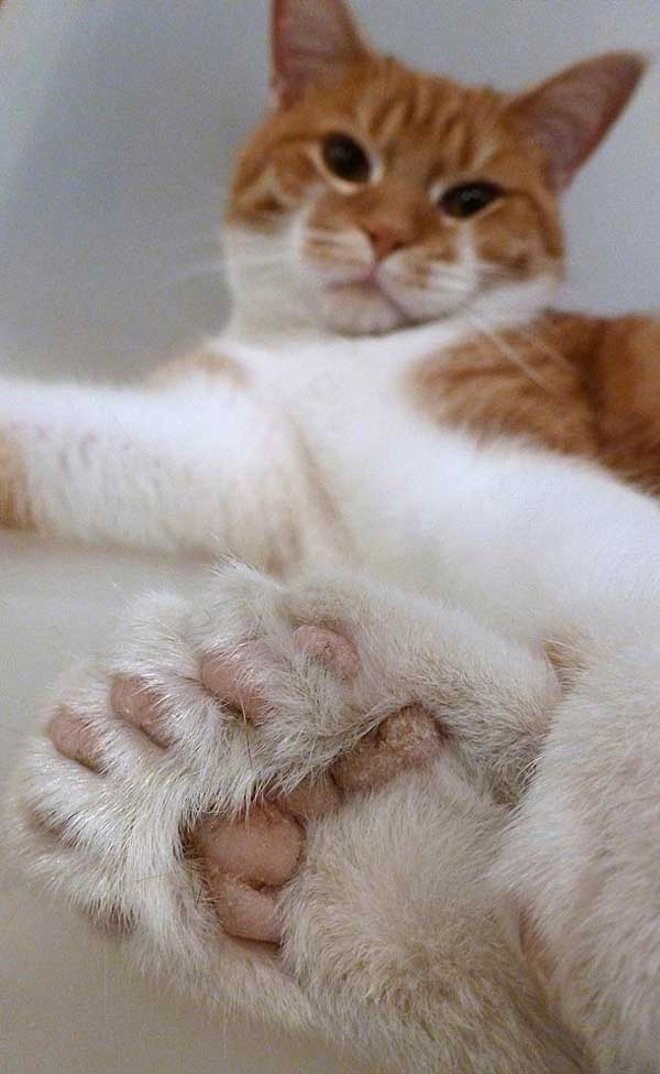 Nothing To Do With Arbroath: Polydactyl cat saves shelter ...  Nothing To Do W...