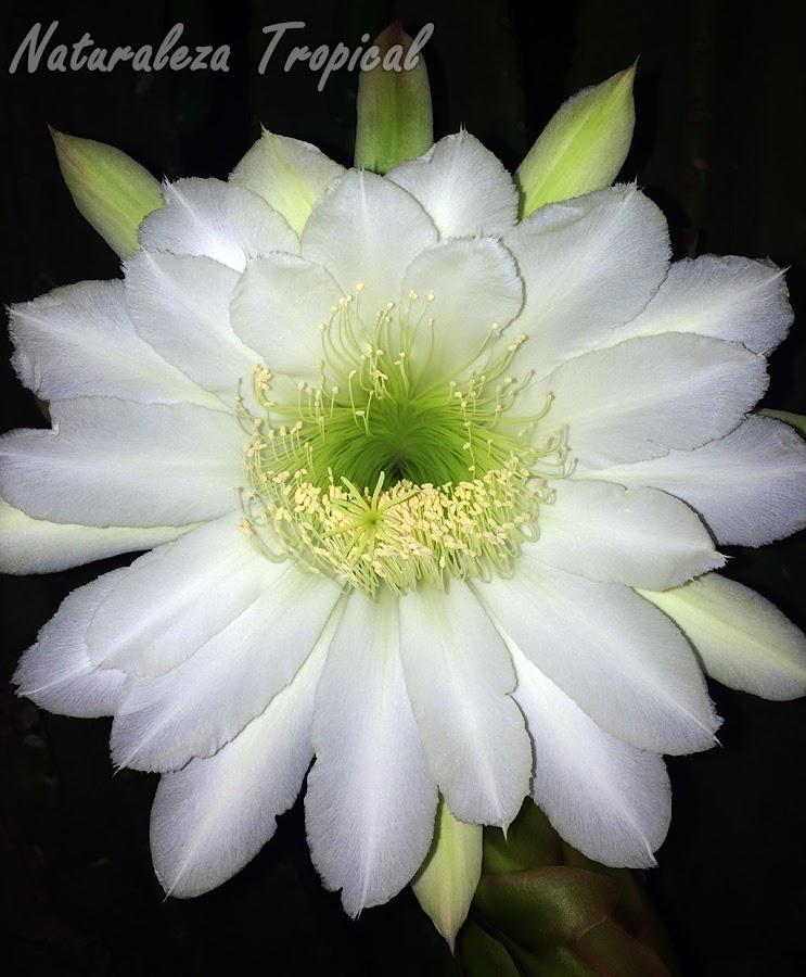 Flor del cactus Cereus hexagonus