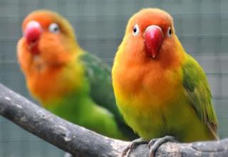 Tips Mengobati Burung Lovebird yang Sakit Mata Tips Mengobati Burung Lovebird yang Sakit Mata