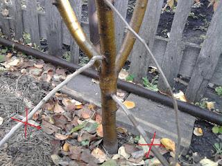 Ветви яблони, выбранные для прикопки