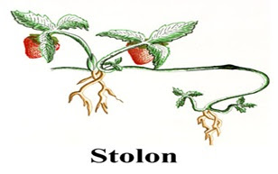 Perkembangbiakan dengan Stolon atau geragih