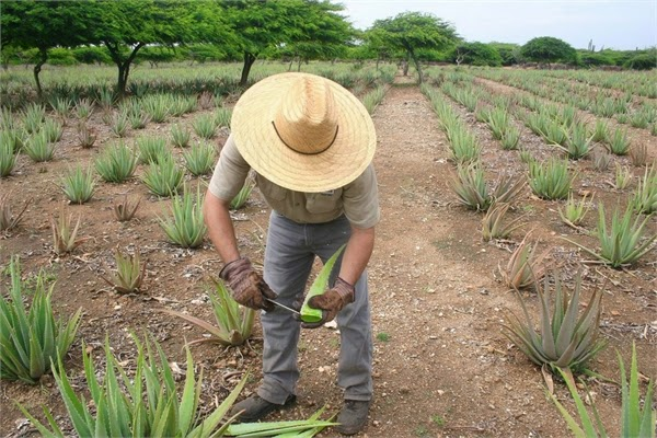 Tour An Aloe Factory in aruba