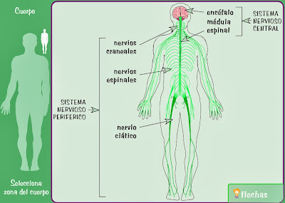 http://www.e-junior.net/juniornet/anatomy/swf/Bsnervioso.swf