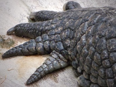 Krokodil Klaue Aussenseite