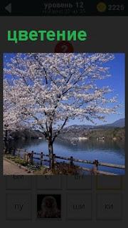 На берегу реки стоит и цветет красивая сакура около изгороди вдоль реки