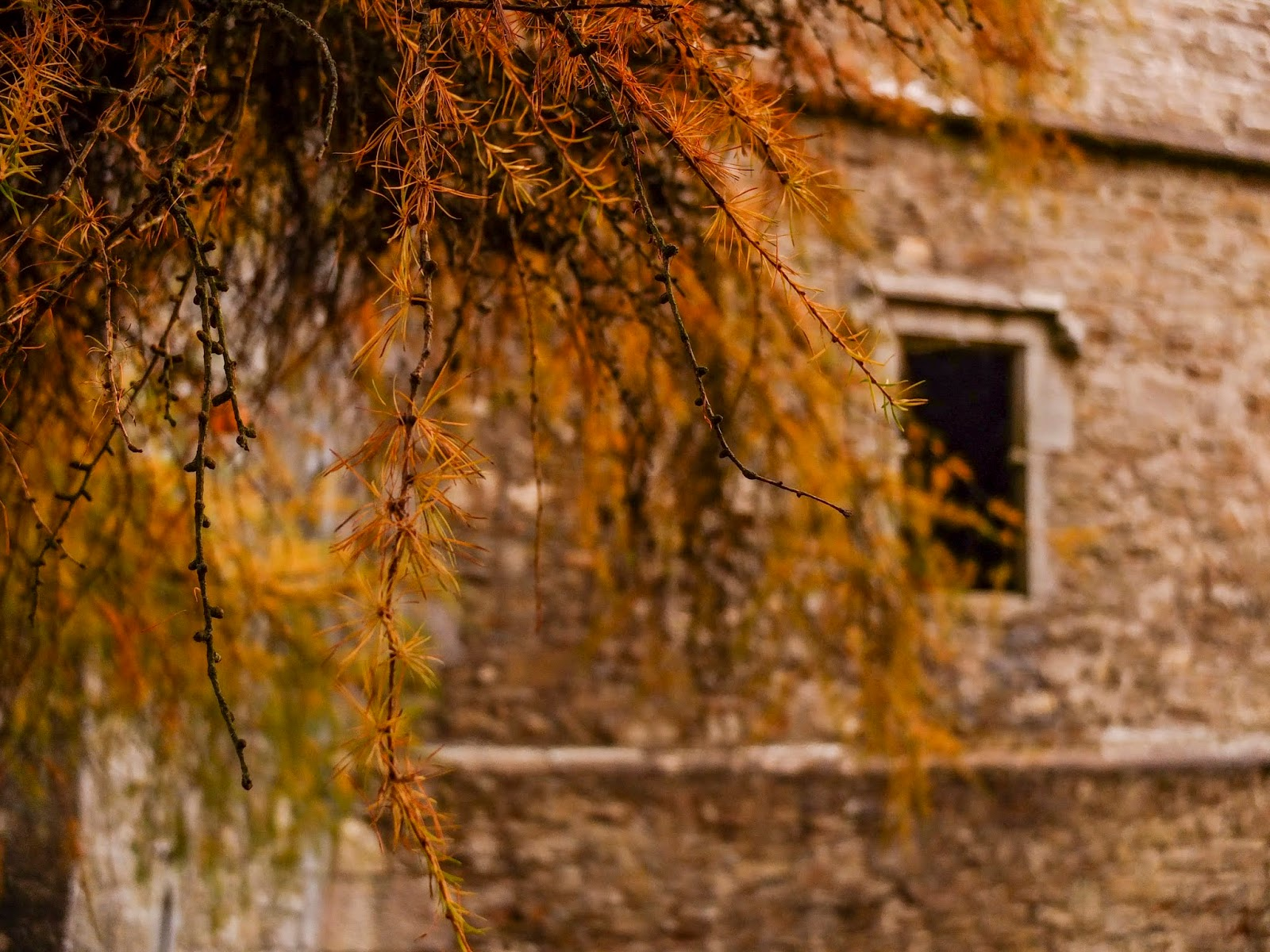Yellowing conifer needles on branches outside Kanturk Castle in North Cork.