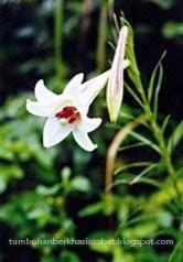 Manfaat tumbuhan Bunga Lili [Lilium formosanum Wall.]