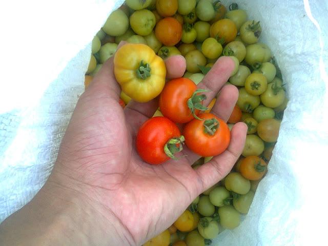 Tomat Rampai Segar Baru Dipetik