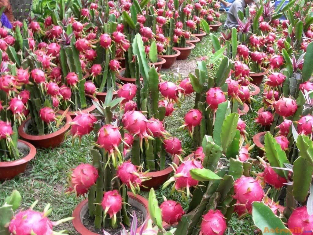 Ejder Meyvesi Yetiştiriciliği