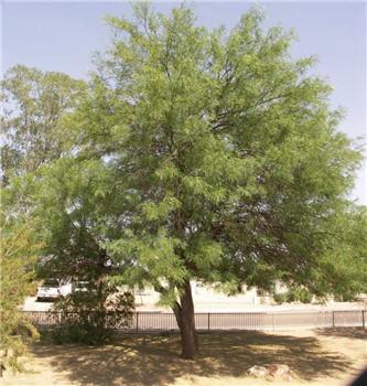 árboles nativos argentinos Algarrobo blanco Prosopis alba