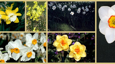 Grupos de narcisos (Narcissus L.)
