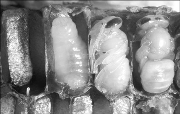 Metamorfosis Lebah