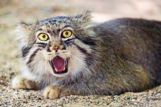 Kucing yang Hampir Punah dan Disebut Kucing Hantu