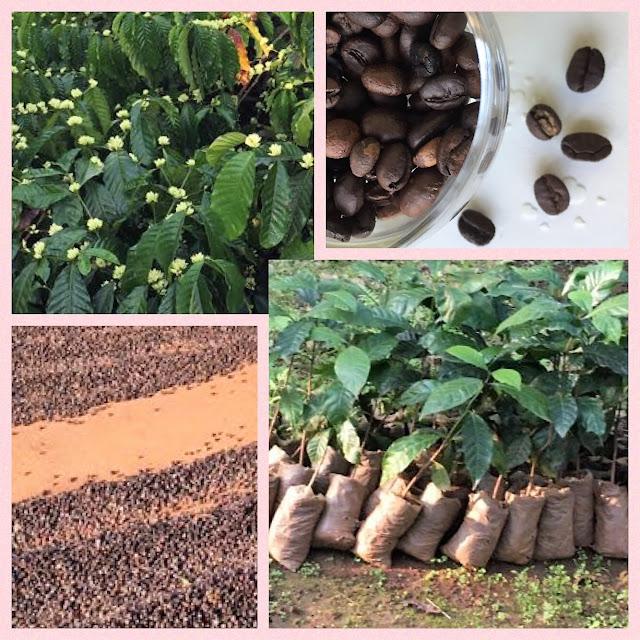 Kaffe: Setzlinge, Blüten, Bohnen