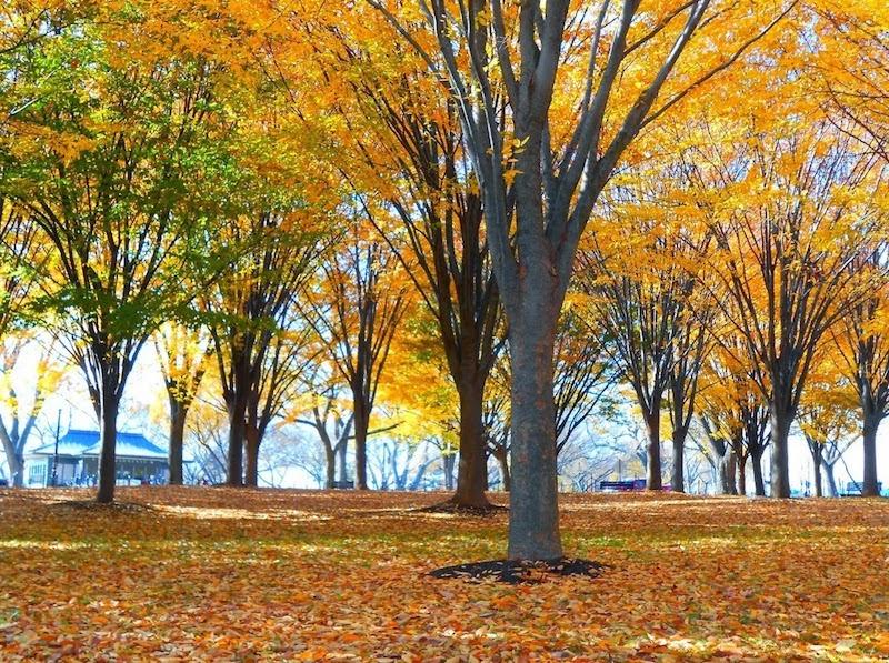Washington Mall - um tapete de folhas amarelas