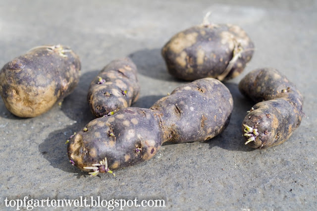 Kartoffel Vitelotte | Kartoffeln im Topf anbauen - Gartenblog Topfgartenwelt