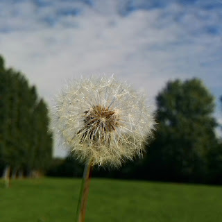 A Dandelion in a field