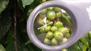 café vert, tonique,acide chlorogénique,cafés spéciaux,diabétiques,perte du poids,radicaux libres,vieillissement