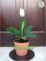 Peace Lily (spathiphlyllum)