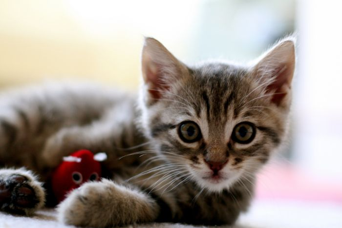 Infecção urinária em gatos - Confira os sintomas no Bichano... (1/3)