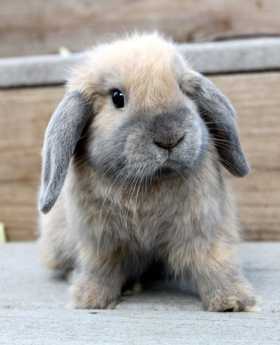 Holland Lop | Rabbit | Information,Pictures,History and Health