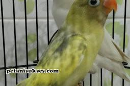Apakah lovebird cacat kaki bisa kawin?
