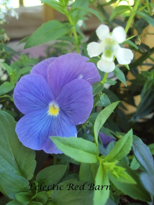 Blue pansy showing dark blue veins and soft white flower next to it