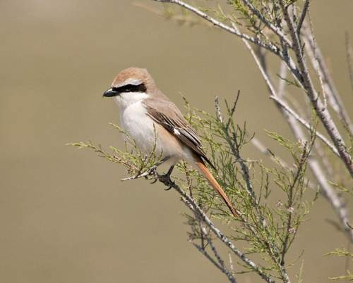 Indian birds - Photo of Red-tailed shrike - Lanius phoenicuroides