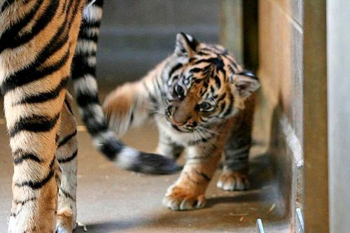 25 Gambar Harimau Yang Lucu  Ayeeycom