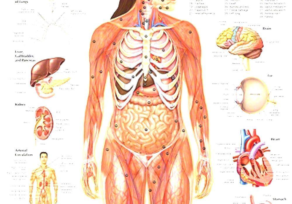 Внутренние органы человека расположение в картинках простата