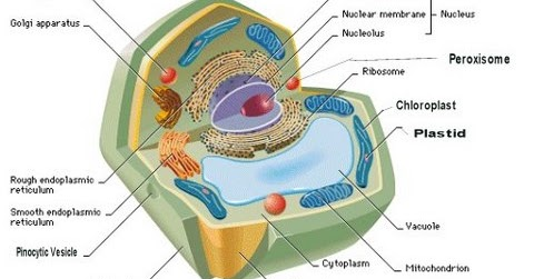 Plastids, Vacuoles and Nucleus  GeneralStudiesManual