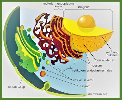 gambar retikulum endoplasma