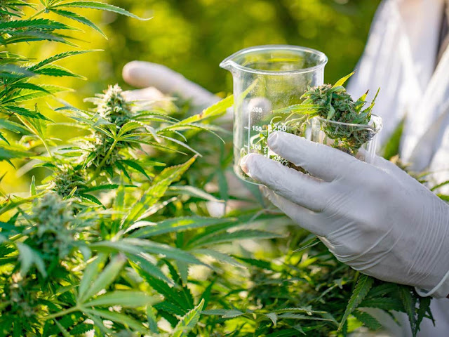 Medicinal cannabis: Legalised yet impossible to access