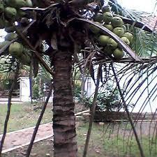 budidaya kelapa kopyor