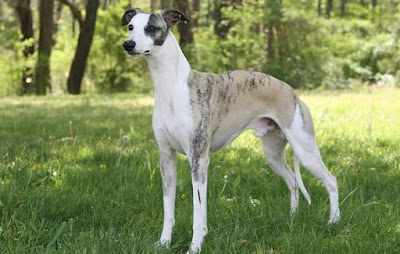 Whippet - animals That Start with letter W