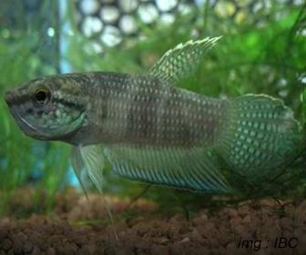 Jenis Ikan Cupang Spesies Betta Stigmosa