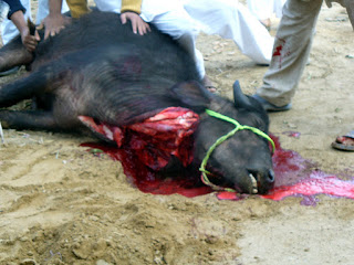 cruelty to animals Buffalo slaughter