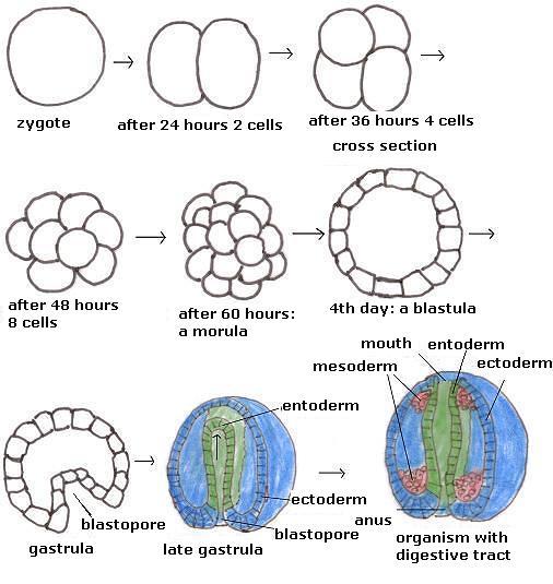 3 Tahapan Perkembangan Embrio (Morula , Blastula, dan Gastrula)