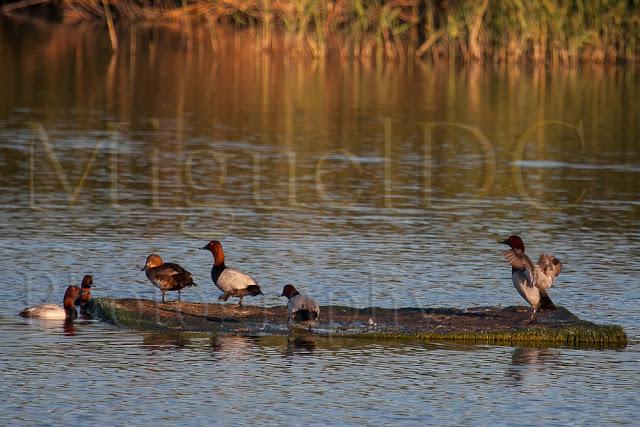 fotos de patos en Murcia