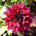 Garden Blogger's Bloom Day July 2017