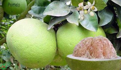 Pomelo, pomelo fruit,জাম্বুরা, বাতাবী লেবু