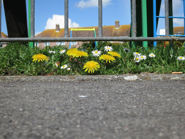 Daisies and dandelions beside the pavement next to an urban park