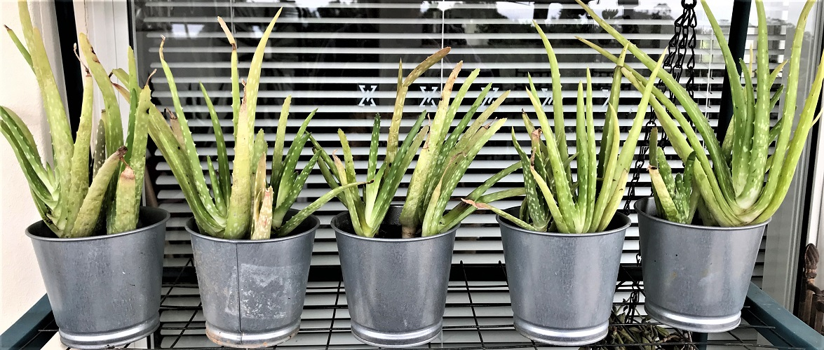 Aloe Vera Plants in Tin Cans for Sale - $6.50 per tin can