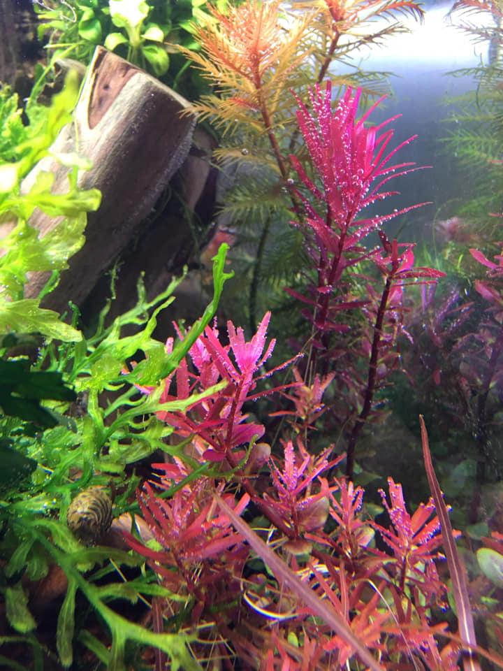 Vẩy ốc siêu đỏ - Rotala Colorata trong hồ thủy sinh của bạn Tiến Lê