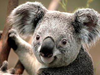 picture of a koala, close up of the face - he appears to be smiling as he is hanging onto a branch