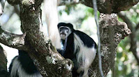 colobus monkey pictures